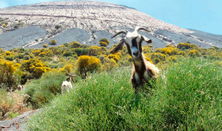 In many parts of the world, goats are important suppliers of milk, meat and hides. However, Martin Wikelski, Director at the Max Planck Institute for Ornithology in Radolfzell, has very different plans for these modest animals: he wants to use them to predict volcanic eruptions.