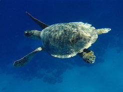 Where marine turtles spend the first years of their life is hardly known - Icarus wants to change this