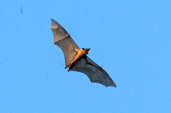 The migration of fruit bats