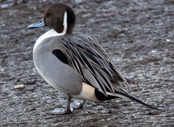 Each year ducks migrate from their breeding grounds in Siberia southwards to hibernate in more favorable regions. Close contact to humans and poultry makes them candidates for transmitting diseases.