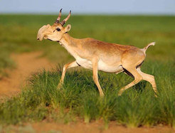 Populations of the Saiga antelope have shrunken dramatically over the last years. With the help of Icarus scientists want to determine crucial regions for the survival of the species.