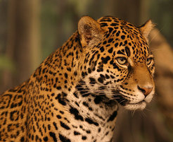 Wild cats like jaguars not only roam huge territories, especially their joung also migrate long distances through agricultural und urban sprawl searching for new habitats