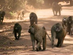 In a baboon group, any member can set the direction - not just the highest-ranking animal