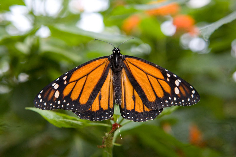 For a long time, telemetry transmitters were too heavy for small creatures like insects. Researchers therefore know very little about the movement patterns of these animals. An exception is the monarch butterfly (Danaus plexippus). Its annual migration from North America to Mexico has been studied intensively.
