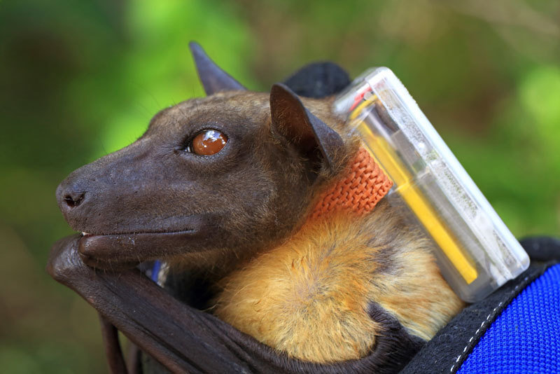 Fruit bats can transmit dangerous diseases to humans. They can transport the pathogens over hundreds of kilometres on their flights. Transmitters attached to the back of the animals enable researchers to trace their flight paths.