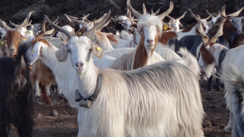 Animals can sense natural disasters: Goats on Mount Etna in Sicily, for example, become anxious before major eruptions. Their movement profiles may provide warning of imminent eruptions in future.