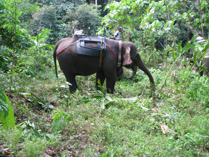 Scientists want to use transmitters to trace the movements of elephants in Aceh. They are strapped to their neck so that the animals are not impeded.