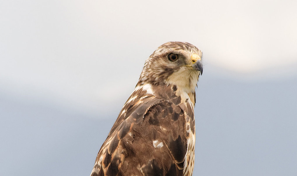 The use of pesticides in its wintering areas in South America has severely decimated brown hawks.