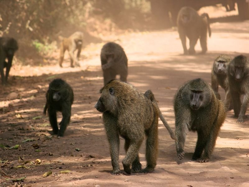 Democratic rule: Anubis baboons make democratic decisions on the routes of their journeys.