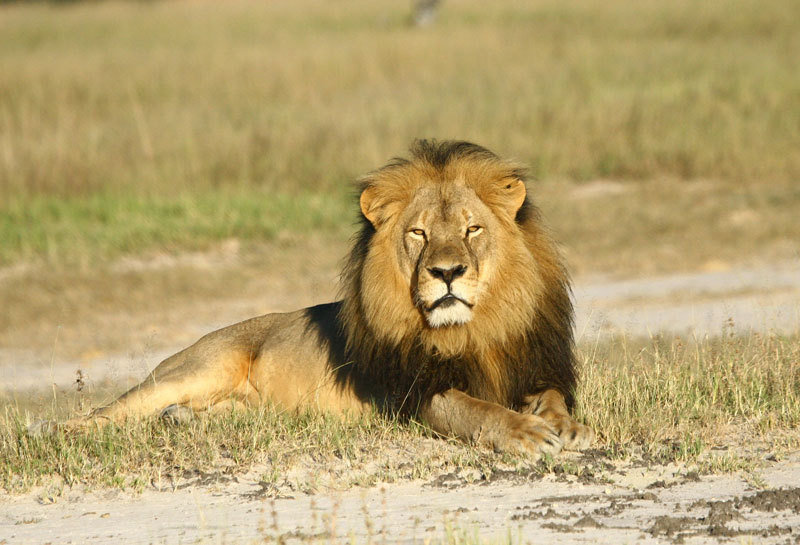 Cecil the lion in Hwange National Park in Zimbabwe.