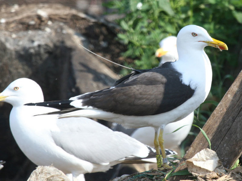 Seagulls use smells to navigate
