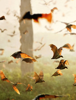 Each year in October, millions of fruit bats land in Zambia's Kasanka National Park before moving on in December. Their exact routes and behavior patterns can be tracked only with the aid of miniature flight recorders.