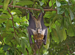 An African straw-colored fruit bat with a transmitter, sleeping in a tree. These bats commute daily between roosting and feeding sites that can often be several hundred kilometers apart.