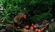 Agoutis disperse tree seeds in the rain forest of Latin America